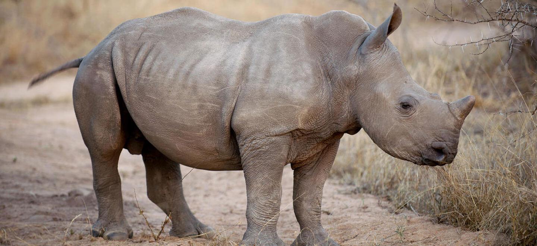 Londolozi-South-Africa-gay-travel-luxury-safari-gay-friendly-resort-South-Africa-gay-honeymoon-rhino
